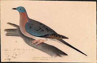 Passenger_Pigeon