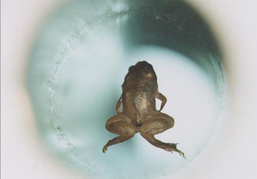 Froglev
