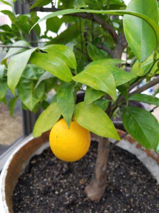 Photo of Kate's citrus tree