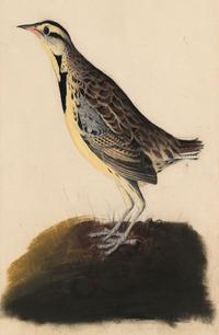 Audubon_8_lr_4